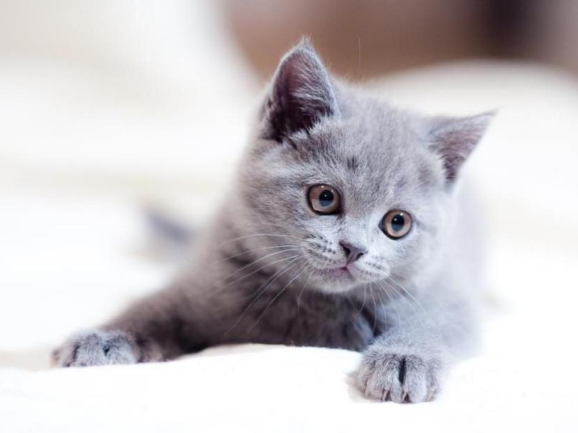 gato_gris_cachorro-830x622